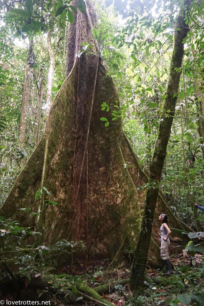 arbre géant en amazonie
