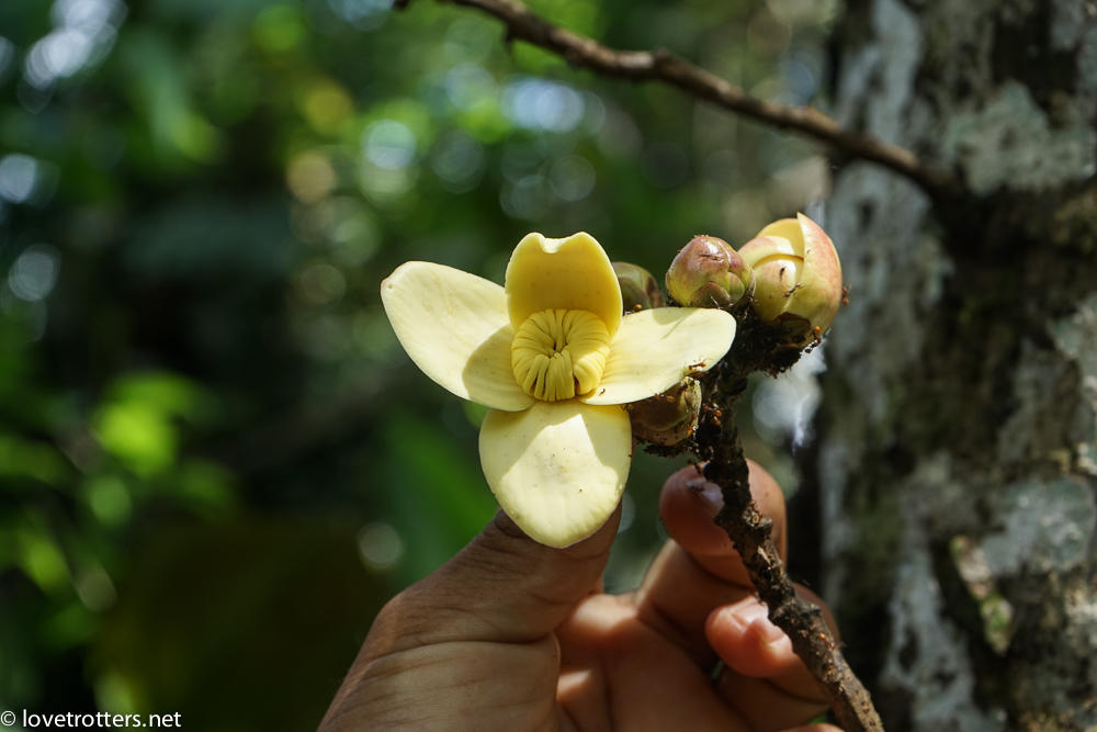 fleur médicinale de l'Amazonie