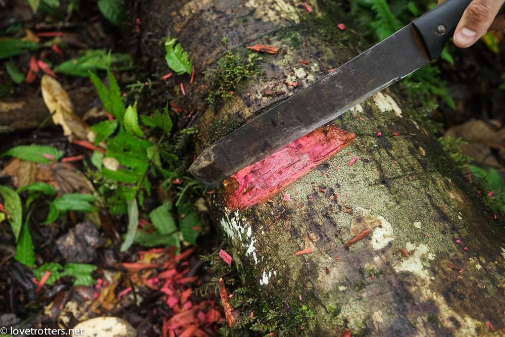 Plante médicinale de l'amazonie