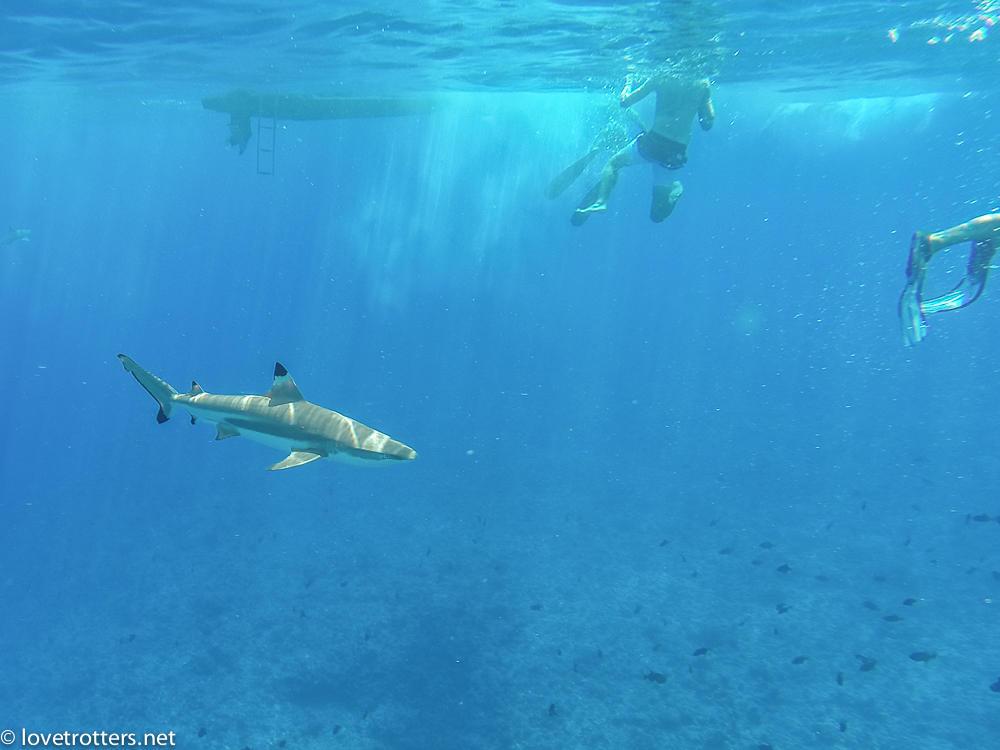 Polynesie francaise bora bora requin