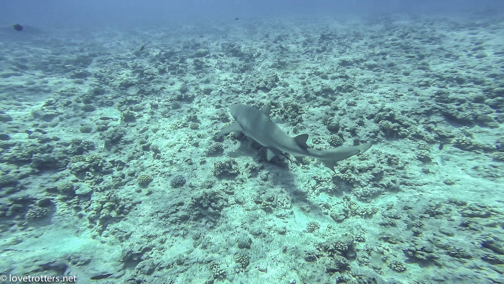 requin citron bora bora