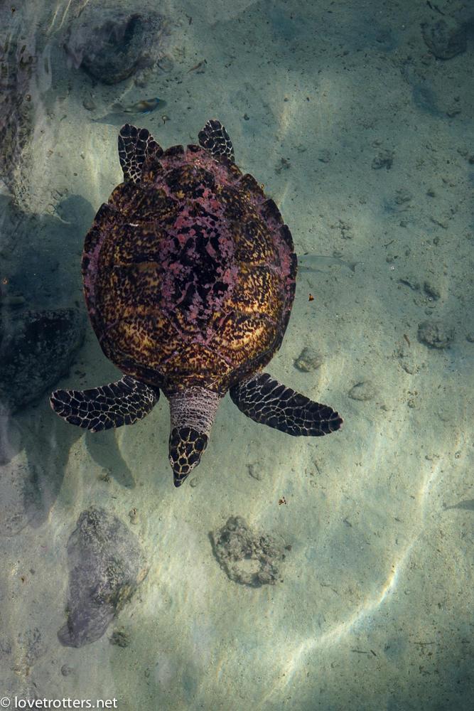 tortue de mer à Moorea