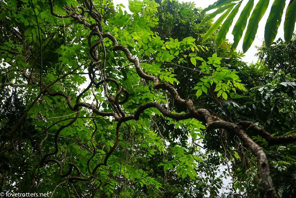 arbre utilisé dans les bungy jump du pentecost