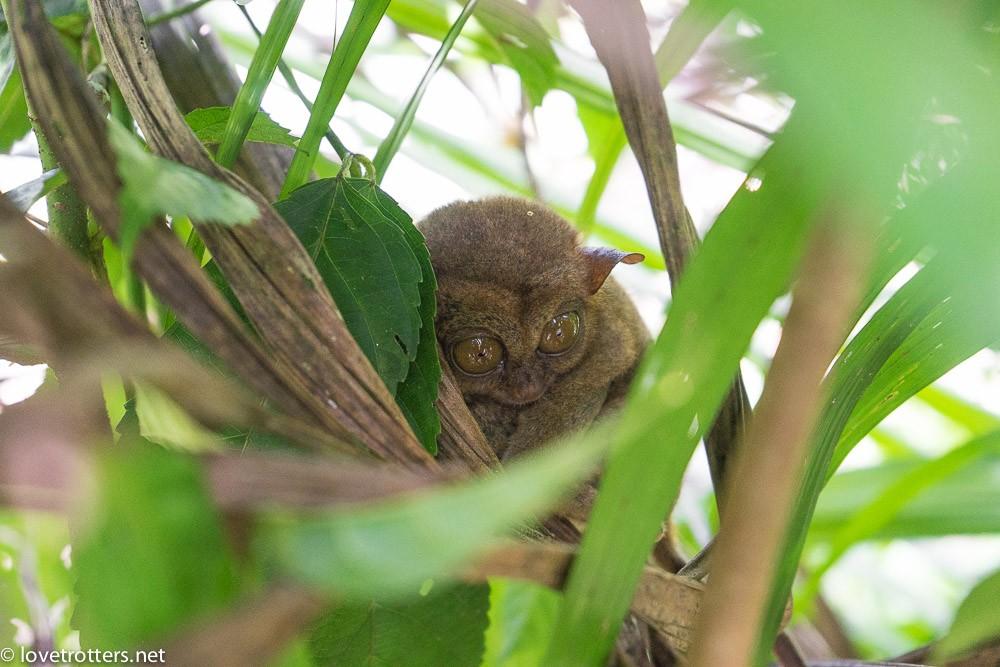 philippines-bohol-tarsier-sanctuary-07173