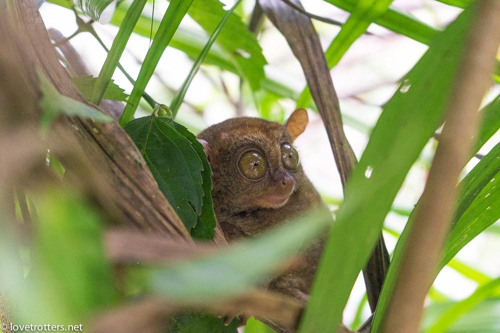 philippines-bohol-tarsier-sanctuary-07174