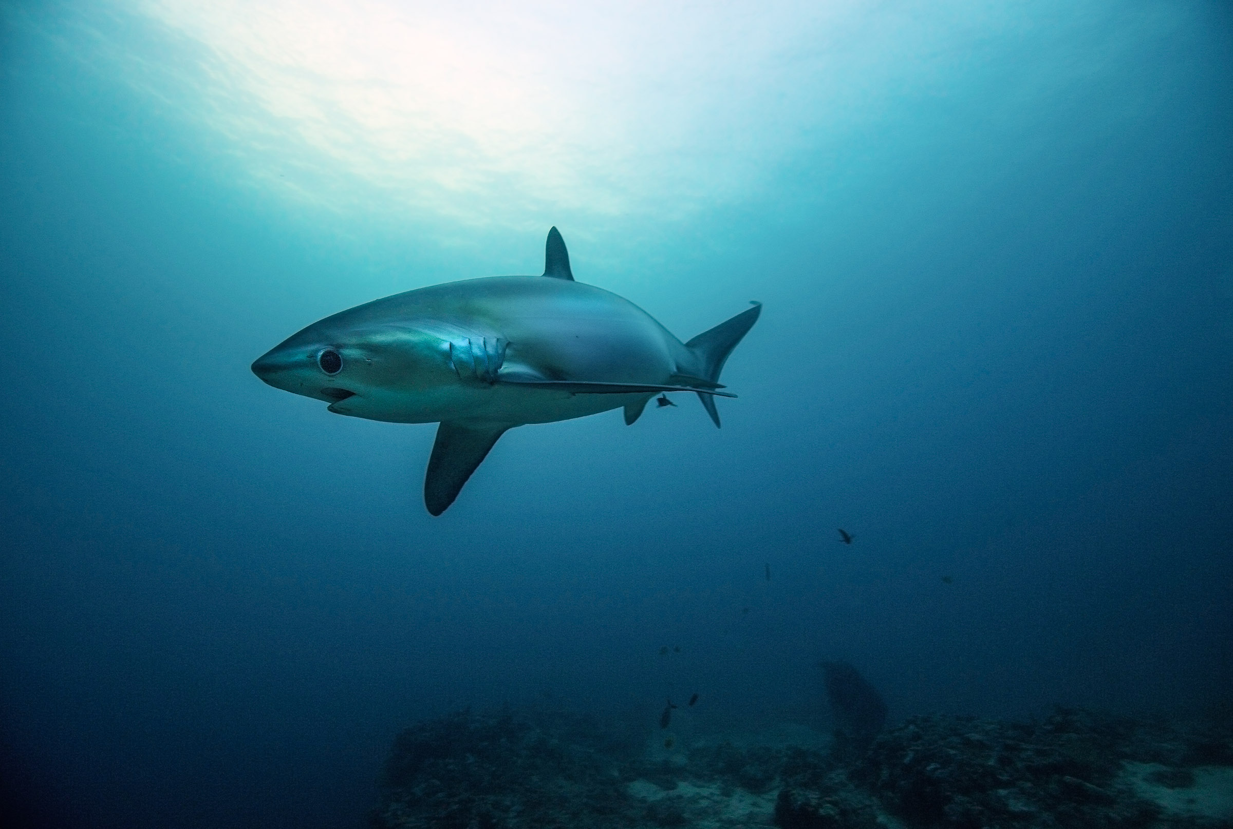 philippines-malapascua-diving-tresher-shark-3