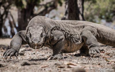 Expédition sur les traces des derniers dragons à Komodo et Rinca
