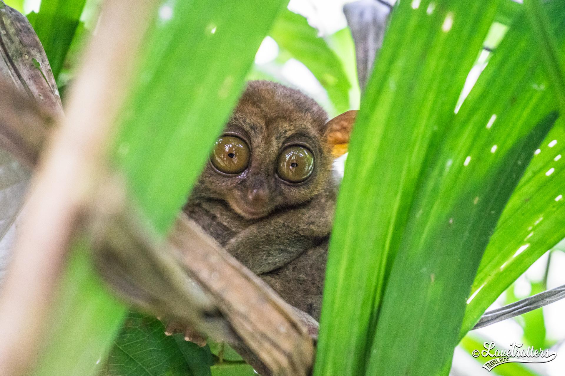Petit tarsier sur l'île de Bohol aux Philippines