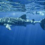Nager avec des requins baleines aux Philippines : Le rêve teinté d'un peu de culpabilité