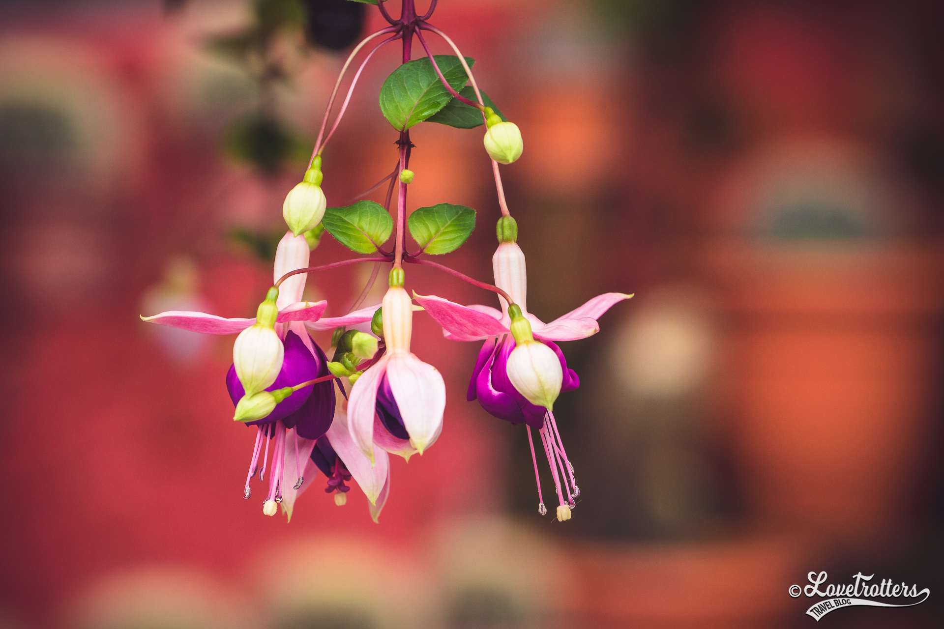 Fleurs des Cameron Highlands