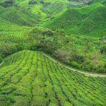 Cameron Highlands une oasis de fraîcheur en Malaisie