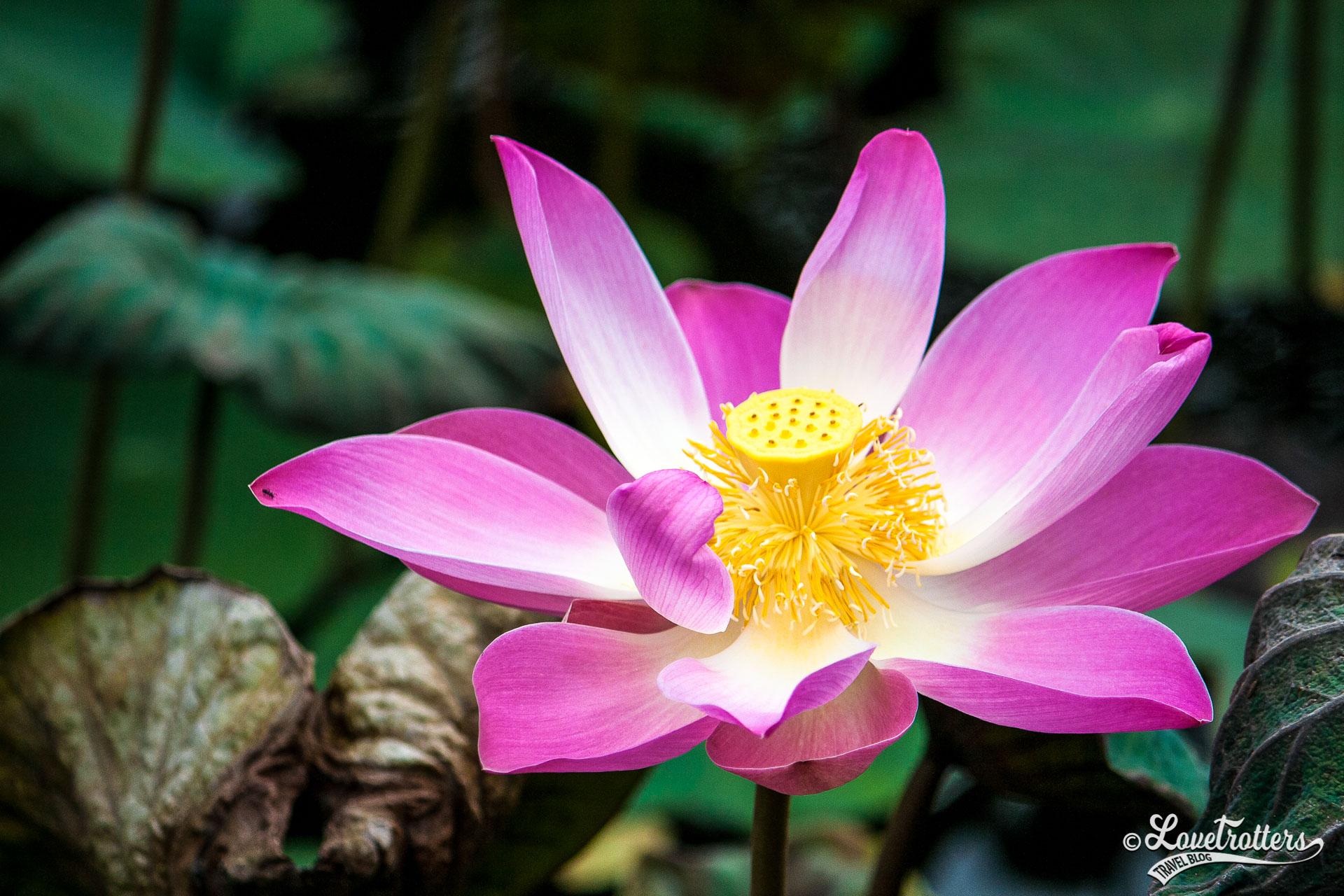 Voyage à Bali - lon de fleurs de lotus
